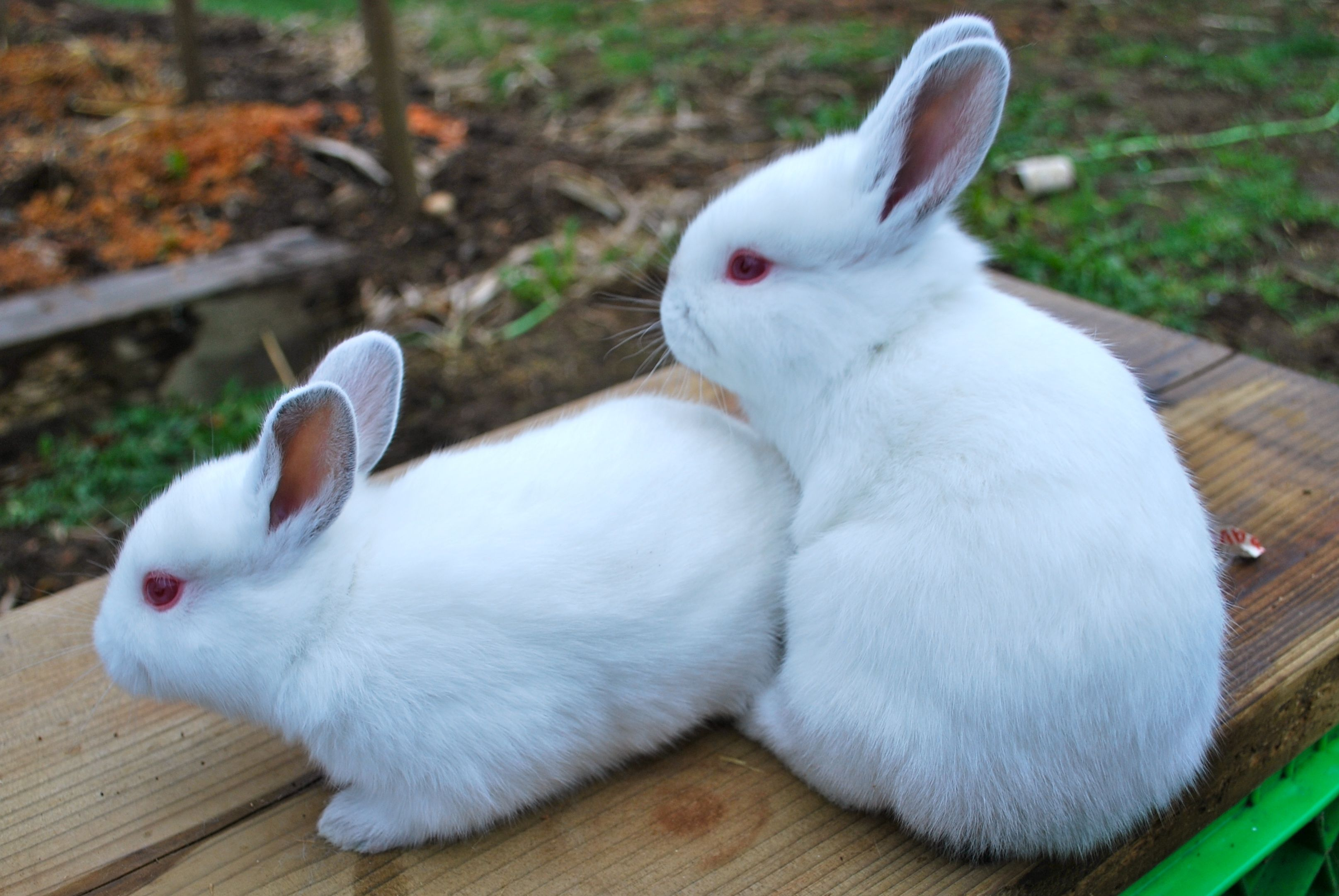 De ce iepurii mor fără un motiv aparent și ce ar trebui să fac?