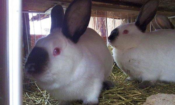 pierderea în greutate și iepuri Pierdere în greutate de la 70 kg la 60 kg