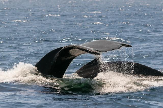 Pierderea în greutate a balenelor din sudul drept - Balena fină - Fin whale - vortecs.ro