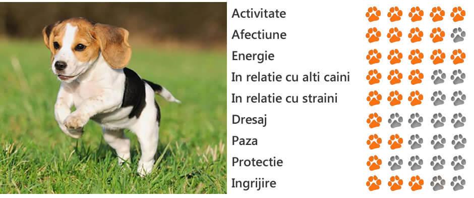 cum să ajute beagles să piardă în greutate)