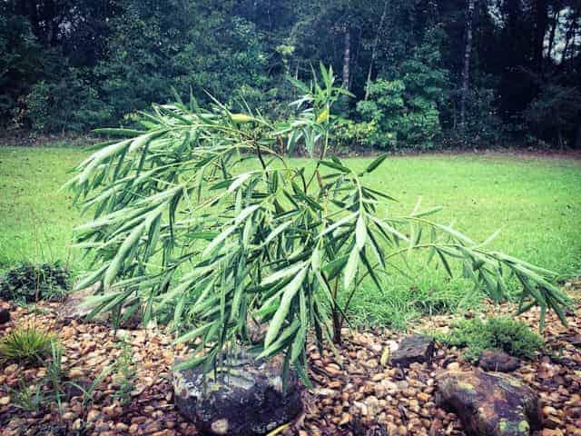 pierdere în greutate oleander